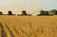 Safra de grãos